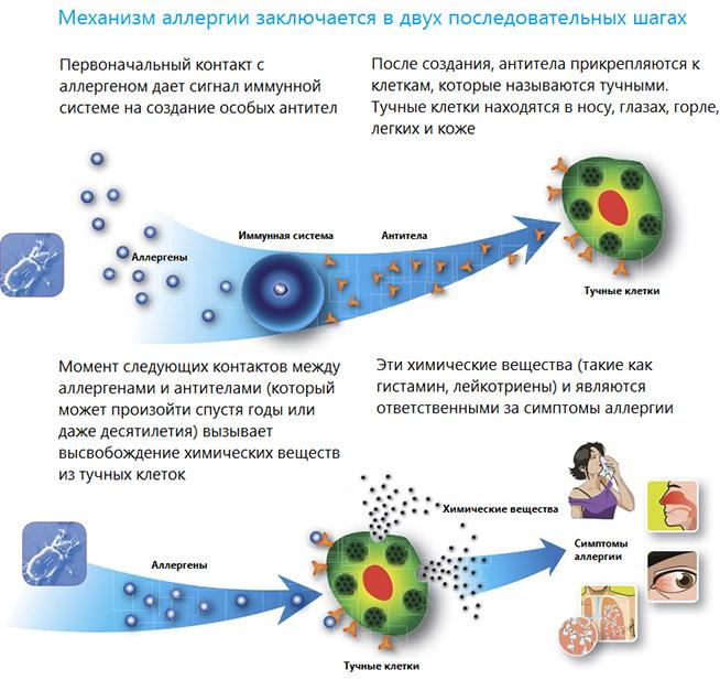Механизм развития аллергии