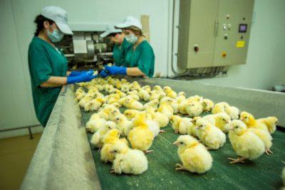 Работа на птицефабрике